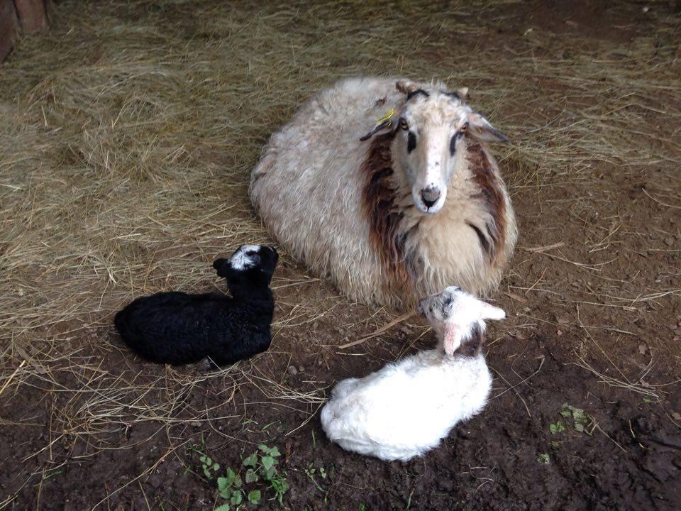 Brebis et agneaux 2