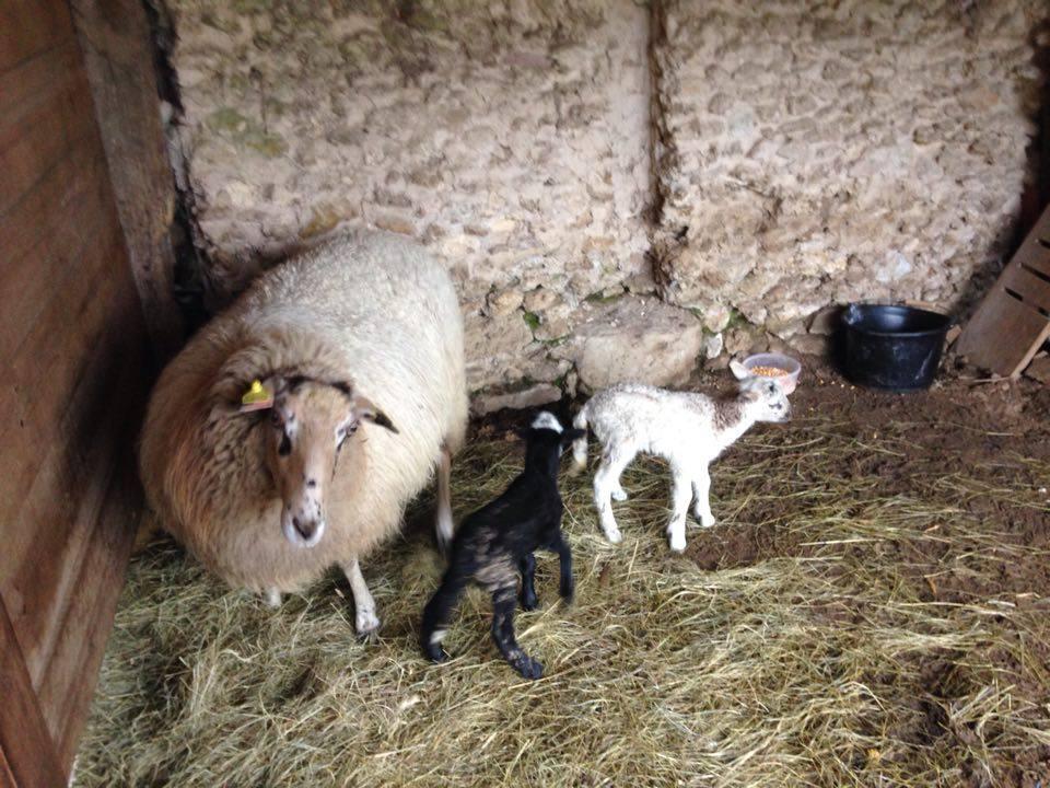 Brebis et agneaux 3